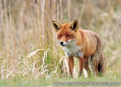 dierenkaarten, vos, fox postcard, Postkarte Wilde Tiere Fuchs