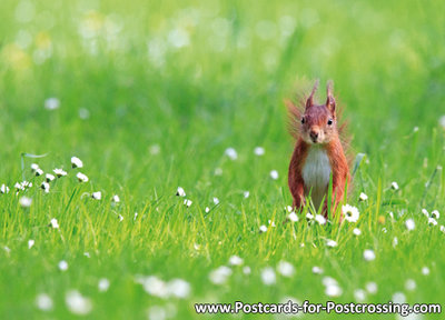 eekhoorn kaart, Animal postcard Red squirrel, Tier Postkarte Eichhörnchen