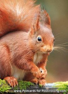 Dierenkaarten eekhoorn, Red squirrel postcard , Postkarten Wilde Tiere Eichhörnchen
