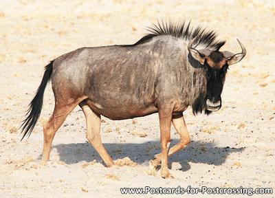 dierenkaarten ansichtkaart dieren Afrika Gnoe, animal postcards Africa Wildebeest, Postkarte Tiere Afrika Gnus