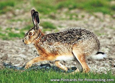 ansichtkaarten wilde dieren haas, wild animal postcard European hare, Postkarte Feldhase
