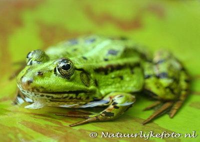 kikker kaart, postcard frog, frogger, Tier Postkarte Frosch