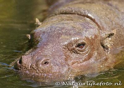 ansichtkaart Dwerg nijlpaard kaart, zoo animals postcards Pygmy hippo, Zoo Tiere Postkarte Zwergflusspferd