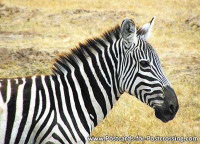 dierenkaarten ansichtkaart Afrika Zebra, African animal Zebra postcard , Afrika Tier Postkarte Zebra