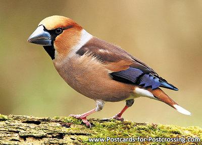 vogelkaarten, vogels Appelvink, postcardforest birds Hawfinch, Vögel Postkarte Kernbeißer