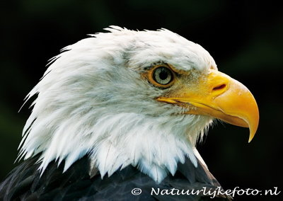 ansichtkaart Amerikaanse zeearend - raptor bird postcard Bald eagle - Greifvogel Postkarte Weisskopfseeadler