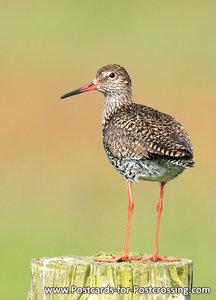 vogelkaarten, ansichtkaarten vogels Tureluur - bird postcardsCommon Redshank - Vögel postkarte  Rotschenkel