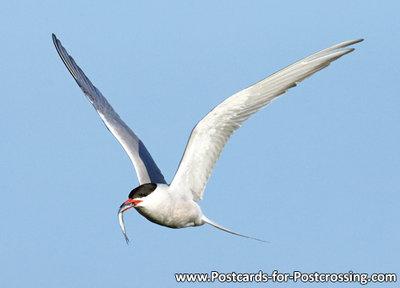 vogelkaart, ansichtkaarten vogels Visdief, bird postcards Common tern, vögel postkarte Fluss Seeschwalbe