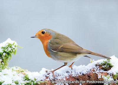 goedkope kerstkaarten kopen, ansichtkaart Roodborstje, Robin postcard , Vögel Postkarte Rotkehlchen