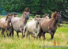 kaart Konik paarden, ansichtkaart, animal postcard Konik horses, Tierpostkarte Konik Pferde
