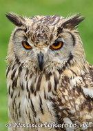 vogelkaarten ansichtkaartuilen Oehoe, owl postcards owl, postkarte Eulen Uhu