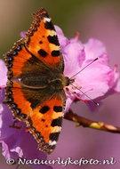 Vlinder kaarten, ansichtkaart vlinder Kleine Vos - butterfly postcardslittle Fox - postkarte schmetterling kleiner Fuch