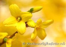 bloemen kaarten, ansichtkaart bloemen Forsythia - Forsythia postcard - Blume Postkarte Forsythia