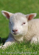 dieren kaarten ansichtkaart Lammetje, animal postcards lamb, Tiere postkarten Lamm