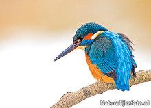 ansichtkaart IJsvogel in de winter, postcard bird King Fisher in winter, Postkarte Vögel im Eisvogel Winter