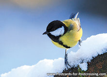 ansichtkaart bosvogels Koolmeesin de winter, postcard bird Great tit in winter, Postkarte Vögel Kohlmeise im Winter