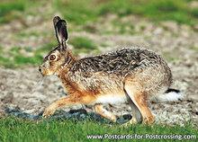 ansichtkaarten wilde dieren haas, postcards wild animals European hare, Postkarten Wilde Tiere Feldhase