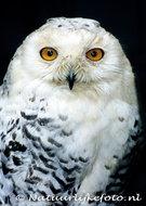 vogelkaarten ansichtkaartuilen Sneeuw uil, owl postcards Snowy owl, postkarte Eulen Schnee Eule