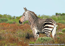 dierenkaarten Afrika Kaapse bergzebra, postcard Africa Cape mountain zebra, Kap Bergzebra Postkarte