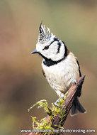 Ansichtkaart Kuifmees kaart, bird postcards European crested tit, Vogel Postkarte Haubenmeise