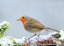 goedkope kerstkaarten kopen, ansichtkaart Roodborstje in de winter, postcard Robin bird in winter, Postkarte Rotkehlchen V&#x00