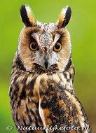 vogelkaarten ansichtkaartuilen Ransuil, owl postcards Long eared owl, postkarte Eulen Waldohreule