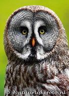 uilenkaarten ansichtkaartvogel Laplanduil, owl postcards Great gray owl, Eulen postkarte Bartkauz
