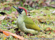 ansichtkaart vogel kaart Groene specht, bird postcard European green woodpecker, Waldvögel Postkarte Grünspecht