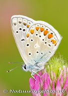 Vlinder kaarten, ansichtkaart vlinder Icarusblauwtje - butterfly postcardsCommon blue - postkarte schmetterling Hauhechel Bl